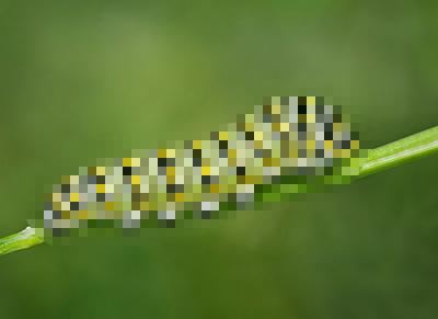 Late Instar Black Swallowtail