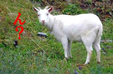 ヤギの写真